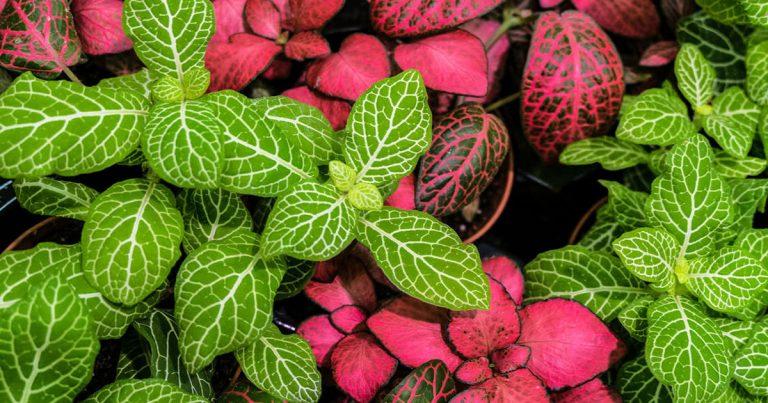 fittonia-pianta-del-mese-2