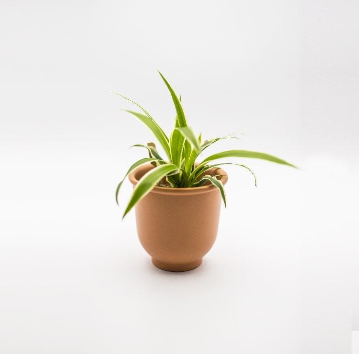 Chlorophytum-glass-life-terrarium-min