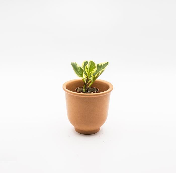 euonymus-del-giappone-glass-life-terrarium-min