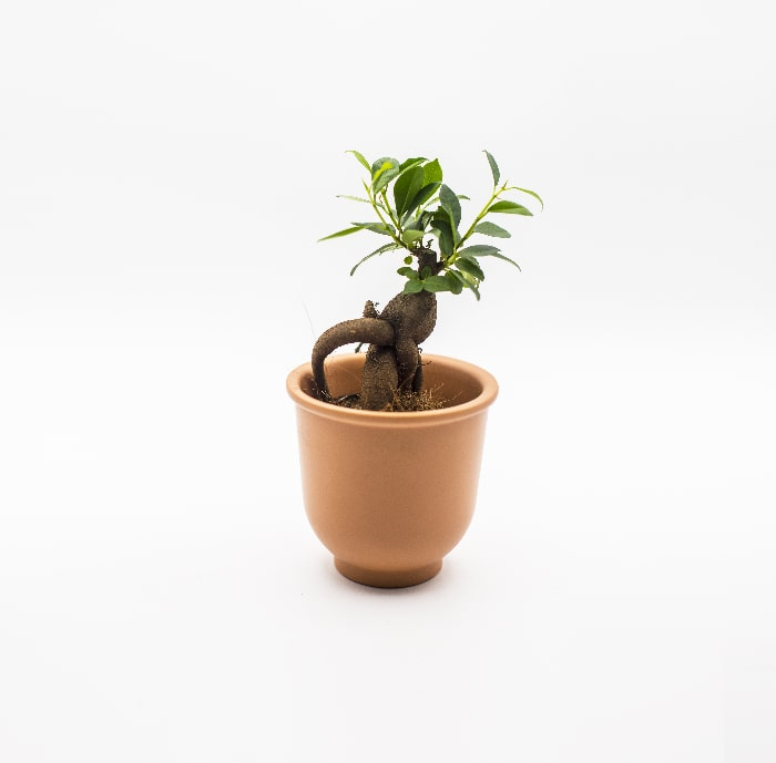 ficus-ginseng-mini--glass-life-terrarium-min