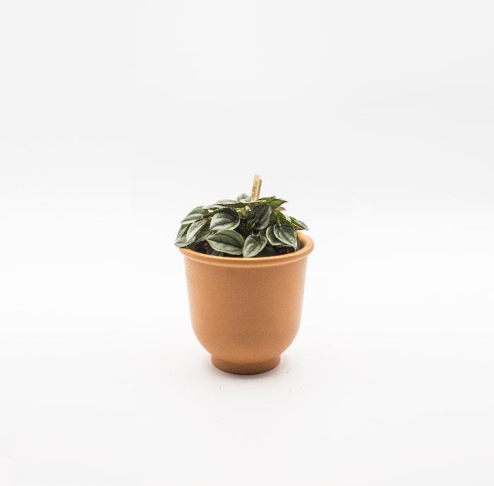 peperomia-turboensis-glass-life-terrarium-min